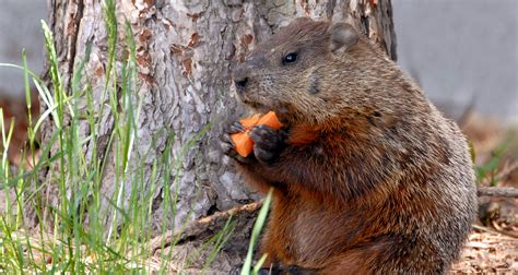 how to get rid of a groundhog in my backyard 5 natural ways to get rid of groundhogs farmers almanac