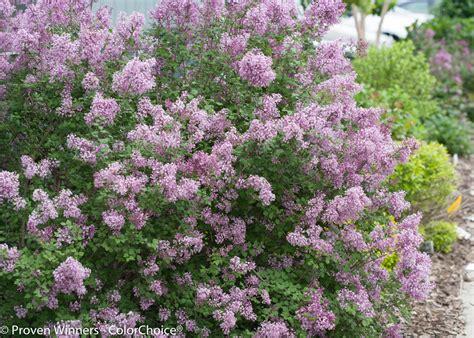 lilac flowering shrubs bloomerang 174 purple reblooming lilac syringa x proven