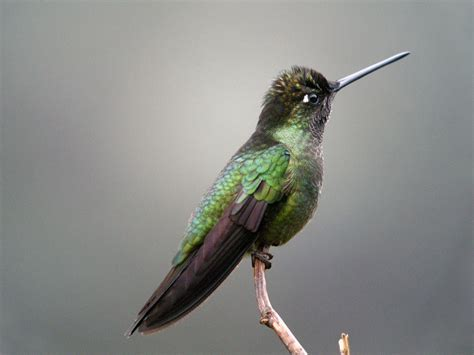 magnificent hummingbird song call voice sound