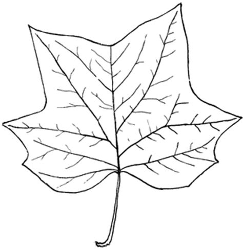 tulip leaf coloring page genus liriodendron l tulip tree clipart etc