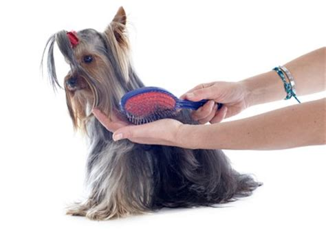 best brush for a yorkie brushing and combing your yorkie grooming tutorial