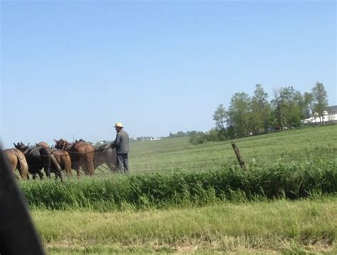 amish plowing with a seven hitch amish horses plowing with horses