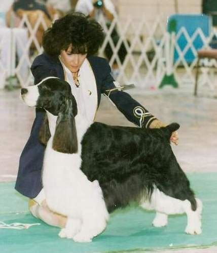 photo courtesy of gentry english springer spaniels am can ch esspecial once in a blu moon