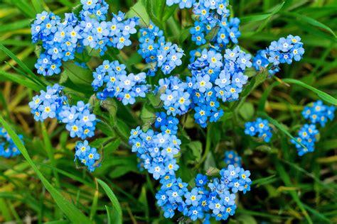 fiore nontiscordardime non ti scordar di me coltivazione e variet 224