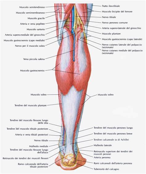 dolore muscolo interno coscia muscolo popliteo medicinapertutti it