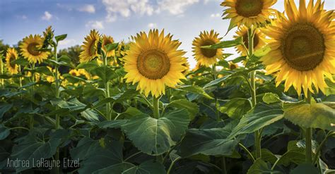 sunflower farm review grinter sunflower farm