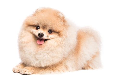 breeds similar to pomeranian pomeranian