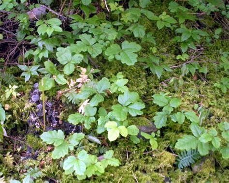 images of poison oak poison oak pictures