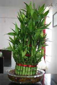 indoor house plants bamboo l photo bamboo indoor plants