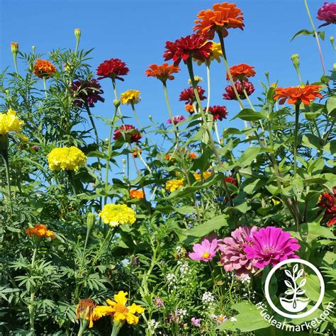 annual flower seed mix zinnias cosmos poppies more