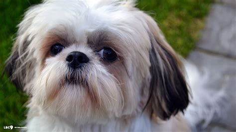 how to brush a shih tzu shih tzu wallpapers keywords here