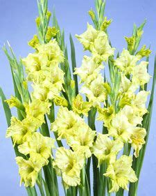 casa jardin gladiola mejores 35 im 225 genes de gladiolas amarillas en pinterest