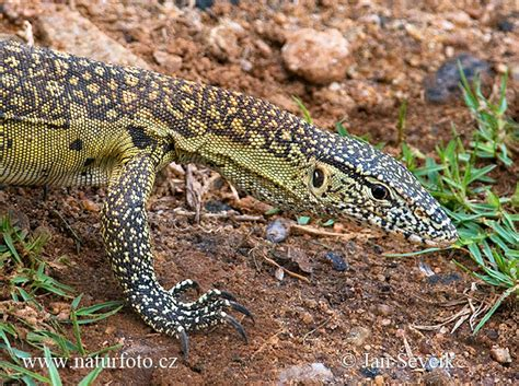 nile monitor photos nile monitor images nature wildlife