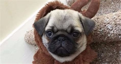 pugs for sale nj your pug puppy is waiting for you in new jersey how do you find him