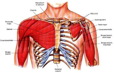 chest diagram muscles tips for building your pectoralis major
