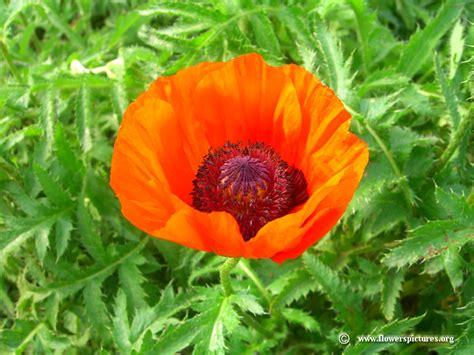 orange poppy flower picture