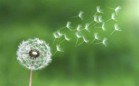 Cute Plant by Blowing Dandelion Wallpaper Wallpapersafari