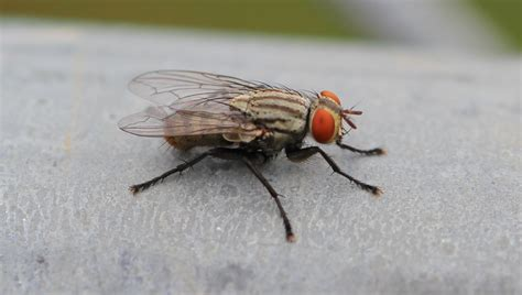 house flies house fly tn resources
