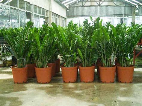 super indestructible zz plant zamioculcas zamiifolia