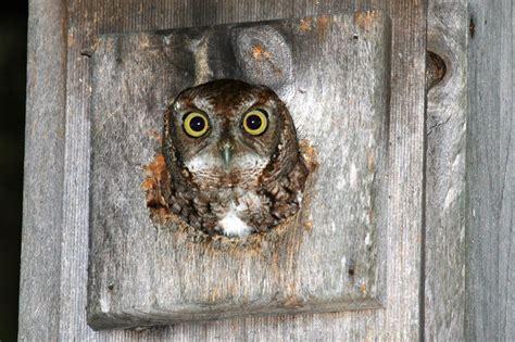 eastern screech owl in nest box naturetime
