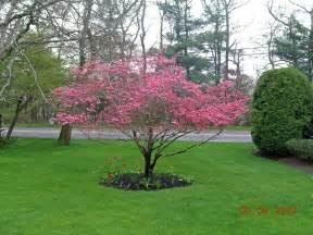 pink dogwood tree image google search landscape plants