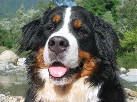 alimentazione bovaro bernese cucciolo bovaro bernese berner sennenhund razza