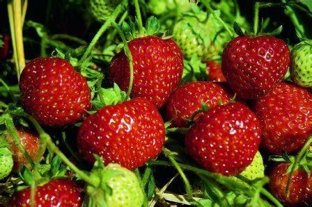 Garten Pflanzen Saurer Boden by Erdbeer Special Alles 252 Ber Erdbeeren Im Eigenen Garten