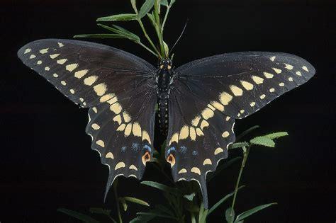 black swallowtail butterfly slideshow 866 02 black swallowtail butterfly papilio