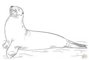 coloring page sea lion galapagos sea lion posing coloring page free printable