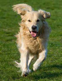 why do golden retrievers seizures your is golden retriever rescue of southern maryland