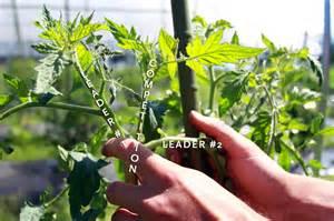 Diseased Tomato Plants - pruning tomato plants 171 the virtual grange