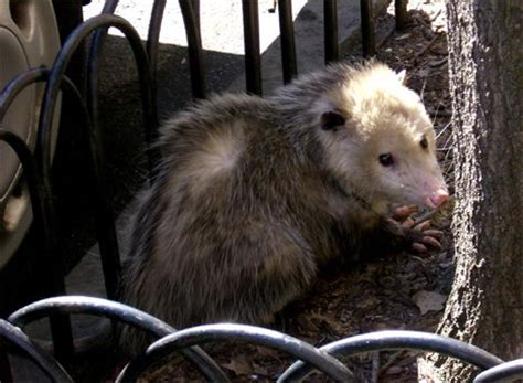 Would You Eat A Rat by What Do Rats Eat In The Facts About Rats Diet