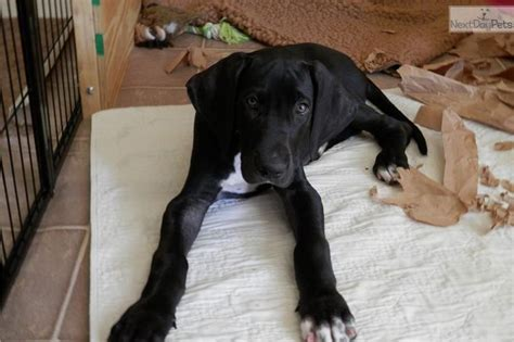 great dane puppies for sale california 1000 ideas about great dane for sale on puppies for sale dane puppies