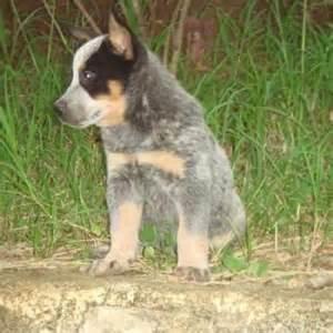 australian shepherd food perro de pastor australiano pictures to pin on pinterest