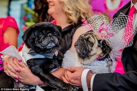 pug rescue uk adopting pugs and jasper celebrate as married daily mail