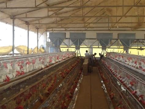 layer shed feeding automatic ref