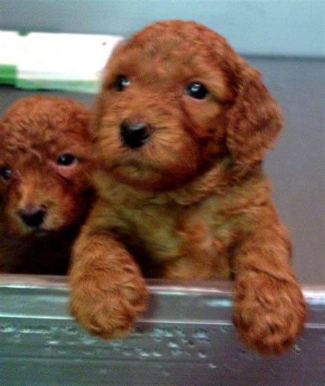 how much are labradoodle puppies australian labradoodles puppies ashford manor labradoodles