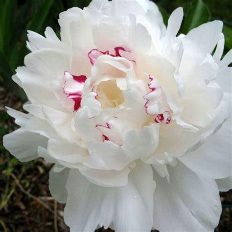 peonia in vaso paeonia lactiflora festiva maxima peonia vaso 216 18cm