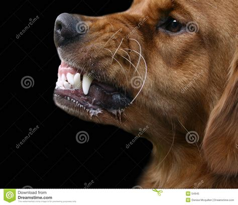 golden retriever growling snarling royalty free stock photo image 54945