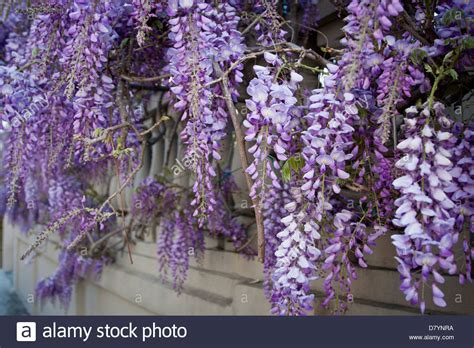 wisteria in bloom in charleston sc usa stock photo royalty free image 56543518 alamy