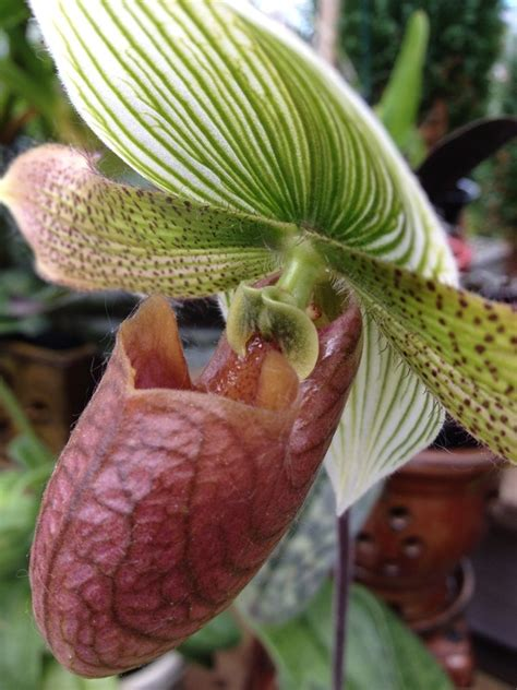 slipper orchids for sale 17 best images about slipper orchids on