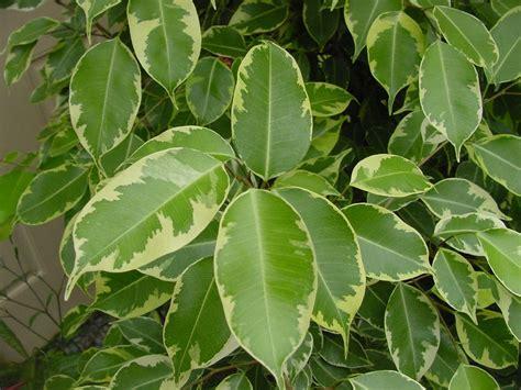Ficus Benjamin Cura by Ficus Benjamin Malattie Ficus