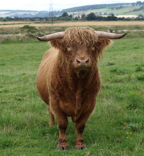 and bull cattle bull jpg image highland cow bulls scottish highlands