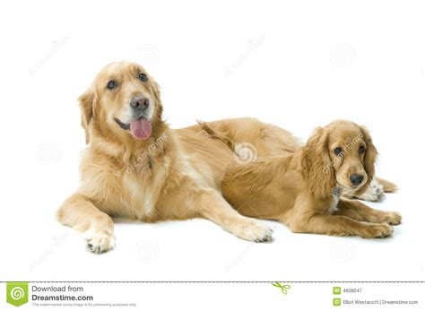 golden retriever cocker spaniel golden retriever and cocker spaniel together royalty free stock photography image
