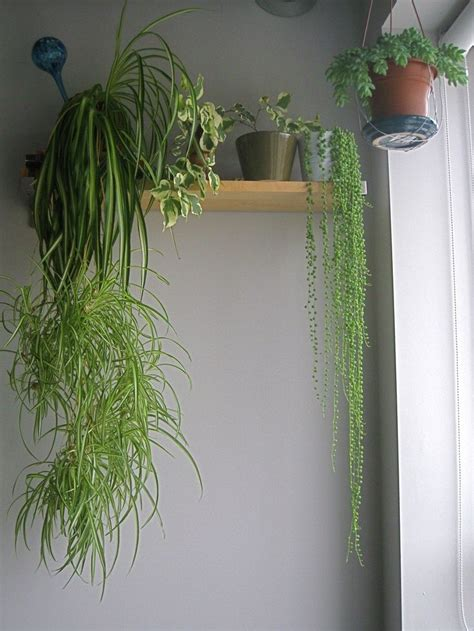 indoor hanging plants 25 best ideas about string of pearls on pinterest