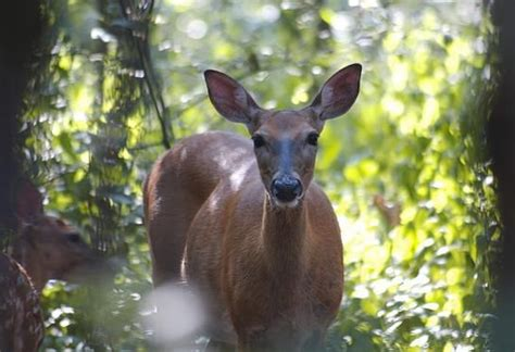 do deer see color 55 best images about cing on a