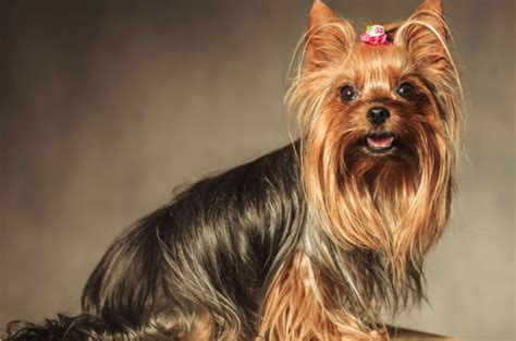 pictures of mini yorkies teacup yorkie pictures guides and facts about this small breed