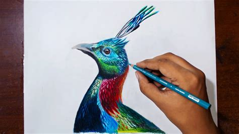 drawing himalayan monal prismacolor pencils speed