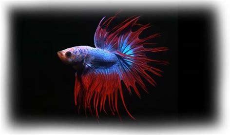 betta splendens alimentazione acquariofilia italia il portale web dei pesci d acquario