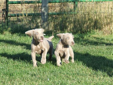 how much are weimaraner puppies puppy gallery pictures